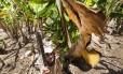 """O agricultor Cesar Siqueira corta cacho de banana """"encruado"""" por falta d'agua: ele teve uma perda de R$ 500 mil na sua safra"""