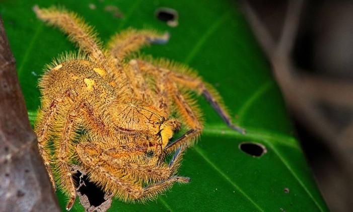 Espécie de aranha batizada em homenagem a David Bowie Foto: Reprodução Wikipedia