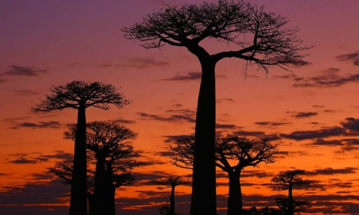 Avenida dos Baobás, em Madagascar Foto: Anisha Shah / Reprodução / CNN