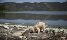 Cachorro caminha sobre antiga área de mangue, hoje coberta por sujeira, entulho, e dejetos flutuantes na beira da Lagoa de Piratininga Foto: Hermes de Paula