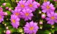 A Lavoisieira sampaioana é uma das mais belas e raras flores do Cerrado