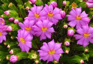 A Lavoisieira sampaioana é uma das mais belas e raras flores do Cerrado Foto: Divulgação/Marcio Verdi