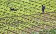 Trabalhadora espalha produtos fertilizantes na plantação, em Teresópolis, no Rio de Janeiro. Este é um dos grandes vilões responsáveis pelo aumento excessivo da pegada de nitrogênio