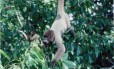 Macaco frugívoro na Amazônia: caça de animais prejudica dispersão de sementes de árvores maiores e com madeira mais densa, que armazenam mais carbono