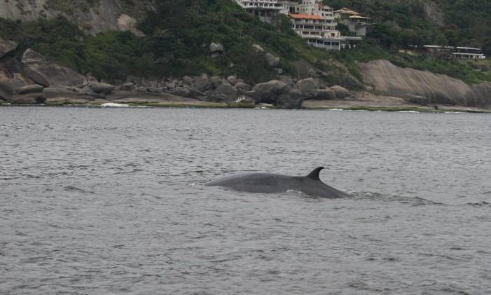A baleia-de-bryde dando sua voltinha em Itacoatiara, bem perto de um conjunto de casas: presença nesse verão Foto: Liliane Lodi