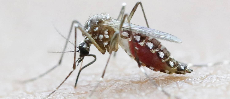 Aedes Aegypti Um Mosquito De Estratégias Eficientes Jornal O Globo