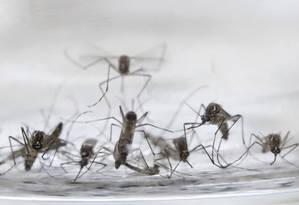 O mosquitos Aedes aegypti Foto: Jaime Saldarriaga / Reuters