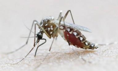 O mosquito Aedes aegypti Foto: Jaime Saldarriaga / Reuters