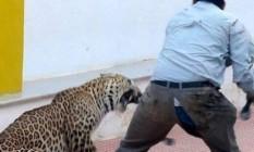 Foram quase dez horas para capturar leopardo Foto: Reprodução vídeo
