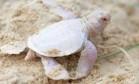 Austrália registra nascimento de rara tartaruga albina Foto: Reprodução/Facebook