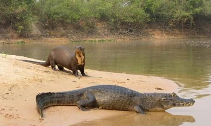 Animais que habitam o Pantanal: é possível observá-los em pontes na estrada Parque Foto: Divulgação