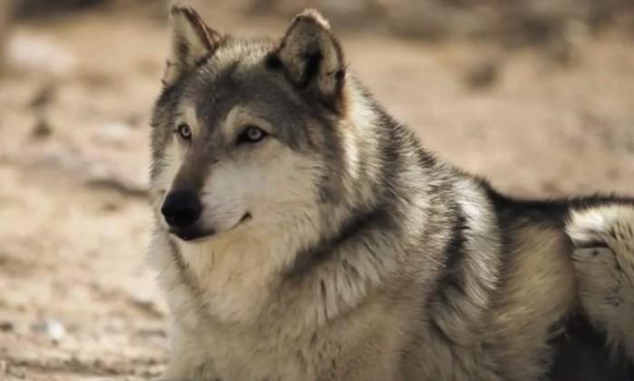 Distribuição de alto-falantes com sons de lobo contribuíram para diminuir a frequência e o tempo de caça de guaxinins em ilhas canadenses - Reprodução