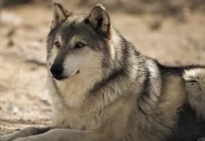 Distribuição de alto-falantes com sons de lobo contribuíram para diminuir a frequência e o tempo de caça de guaxinins em ilhas canadenses Foto: Reprodução