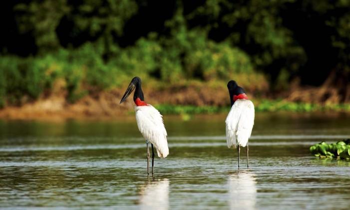 Tuiuius no Rio Piquiri, no Pantanal de Mato Grosso Foto: Fernando Quevedo / Agência O Globo