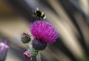 A população de abelhas na Europa reduziu em 37% Foto: Suzanne Plunkett / Reuters / REUTERS