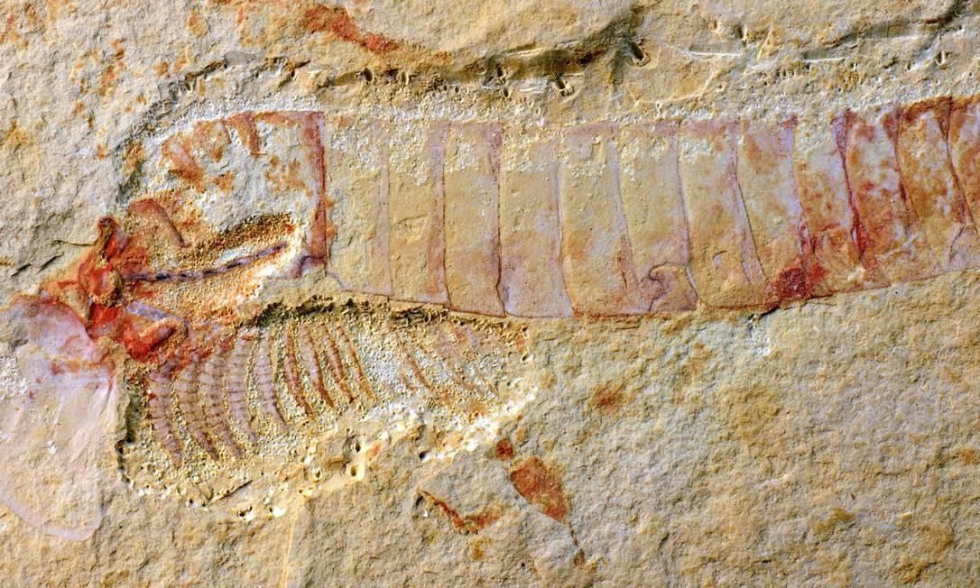 Um fóssil do 'C. kunmingensis', animal do Período Cambriano pertencente à família que deu origem aos atuais insetos, aracnídeos e crustáceos Foto: Jie Yang/ Universidade de Yunnan