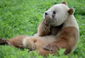 Os pandas marrons foram descobertos em 1985. Apenas oito animais foram encontrados desde então, e Qi Zai é o último vivo Foto: WikiCommons
