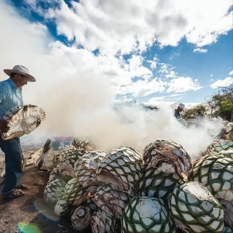 Agave: a planta que dá origem a tequila e o mezcal, as duas bebidas nacionais do México Foto: Divulgação