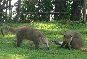 Quatis no Parque Nacional do Iguaçu: local foi um dos primeiros a ter seus serviços transferidos para a iniciativa privada Foto: Stéfano Salles
