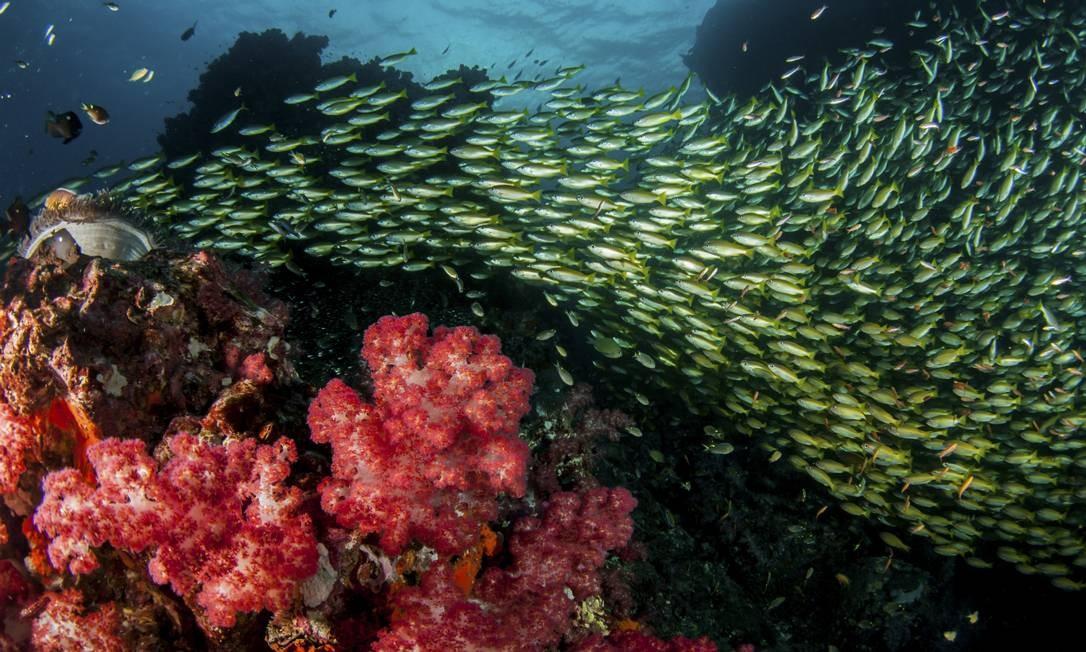 Cardume. Peixes sobre corais moles em Richelieu Rock Foto: Caine Delacy / The New York Times