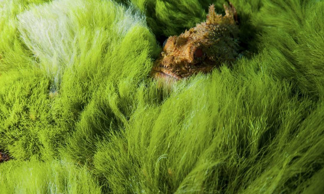 Peixe-escorpião se esconde na vegetação aquática em Richelieu Rock Foto: Caine Delacy / The New York Times
