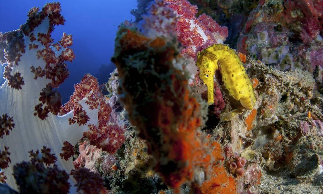 Cavalo-marinho. Descanso entre corais moles em Richelieu Rock Foto: Cainde Delacy / The New York Times