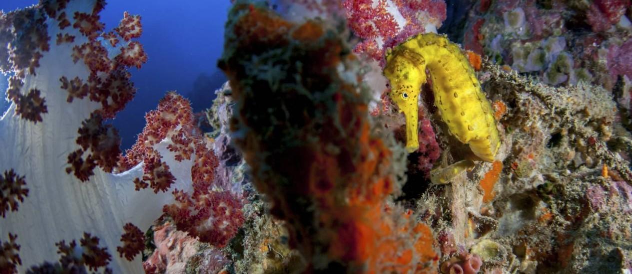 Cavalo-marinho. Descanso entre corais moles em Richelieu Rock Foto: Caine Delacy / The New York Times