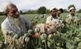 Agricultores em plantação de papoula, no Afeganistão: heroína é derivada da planta