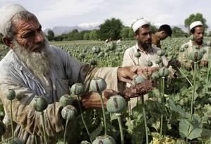 Agricultores em plantação de papoula, no Afeganistão: heroína é derivada da planta Foto: Rahmat Gul/AP/10-05-2013