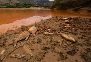 Rastro de morte. Em Resplendor, em Minas Gerais, a lama com rejeitos químicos deixa peixes mortos nas margens do Rio Doce Foto: Fabio Braga/15-11-2015