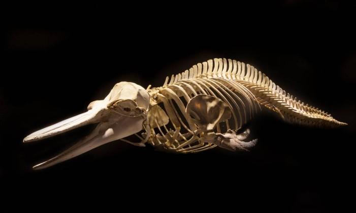 Esqueleto de golfinho comum do Atlântico Sul, do acervo do Museu Oceanográfico Univali, em Piçarras, Santa Catarina Foto: Sabrina Klann / Univali/Divulgação