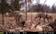 Lobos flagrados por câmera controlada remotamente na região de Chernobyl