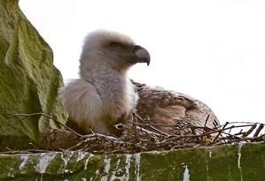 Um dos machos do casal de abutres choca ovo em ninho feito pelos dois pássaros Foto: FRANZ FRIELING / AFP/DPA/TIERPARK NORDHORN