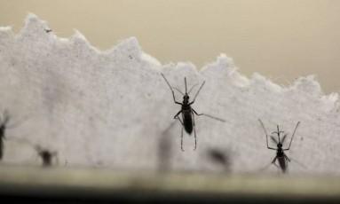 Além de causar dengue, zika e chicungunha, Aedes aegypti também é o mosquito transmissor da febre amarela Foto: Reuters / Reuters