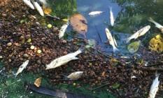 Várias espécies de peixes apareceram mortas na Lagoa de Marapendi, na Barra Foto: Ricardo Herdy / .