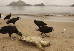 Encalhe. Tartaruga marinha da espécie verde encontrada morta na Praia de São Francisco: lixo e poluição entre as principais causas de morte dos animais Foto: Guiherme Leporace