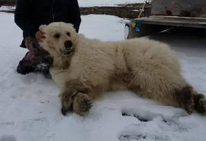 Urso abatido no Norte do Canadá: branco com patas marrons Foto: Acervo pessoal / Reprodução do Facebook