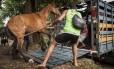 Cavalo que era usado em transporte em Paquetá é retirado da ilha