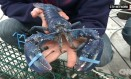 Scott MacKinnon pretende libertar a lagosta após o fim da temporada de pesca: traz sorte e prosperidade Foto: REPRODUÇÃO/CNN