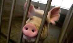 Os porcos foram escolhidos por formarem órgãos com dimensões semelhantes com os dos humanos Foto: University of California, Davis