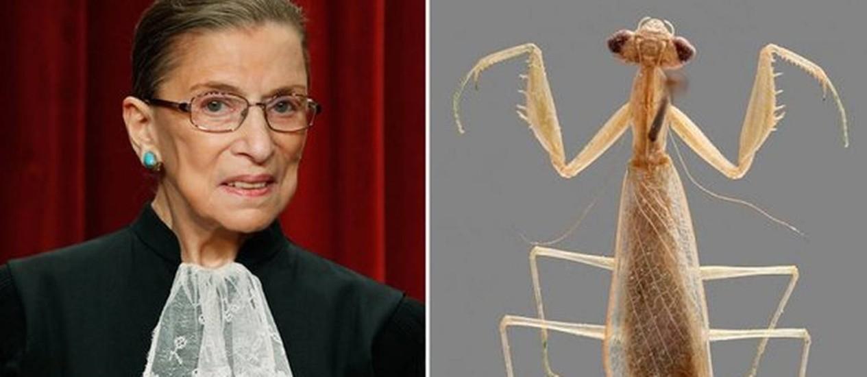 Ruth Bader Ginsburg, a decana da Suprema Corte americana, e a louva-a-deus Ilomantis ginsburgae Foto: Reprodução da internet