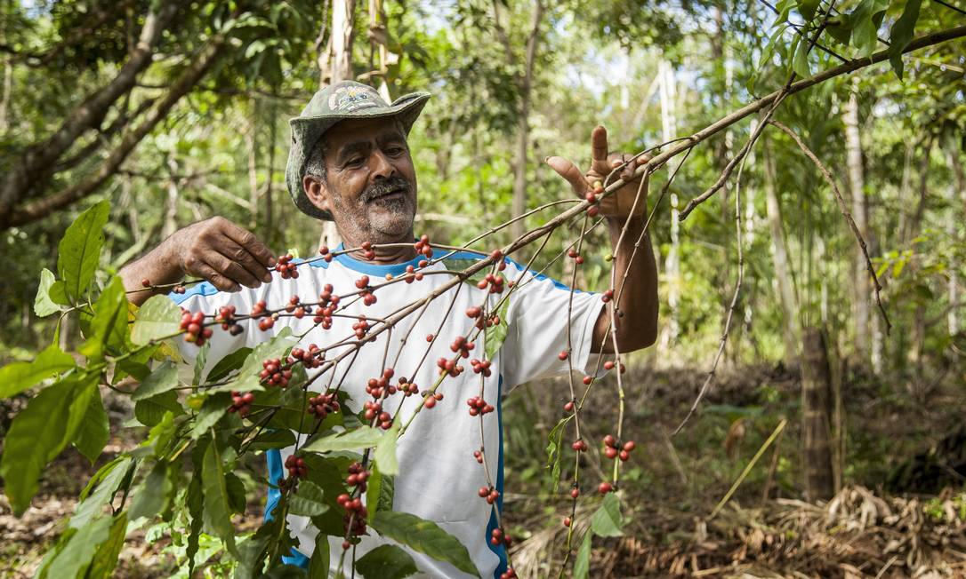 """Ataliba com parte da sua plantação de café: """"Eu gosto mesmo é do café. Adoro plantar. Consigo 5, 6 sacos, o resto eu bebo"""". Hermes de Paula / Agência O Globo"""