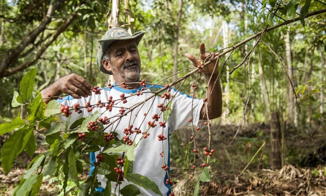 """Ataliba com parte da sua plantação de café: """"Eu gosto mesmo é do café. Adoro plantar. Consigo 5, 6 sacos, o resto eu bebo"""". Foto: Hermes de Paula / Agência O Globo"""