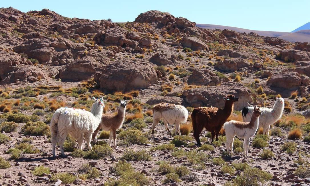 Lhamas pelo caminho Foto: Fábio Vasconcellos