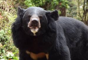 Urso negro asiático Foto: Wikimedia