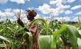 Fazendeiro verifica a cultura de milho no Malawi, no Sul da África, que luta contra a pior seca dos últimos 30 anos