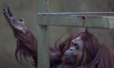 O orangotango Sandra é um dos animais que, segundo ativistas, vinha recebendo maus tratos no zoo Foto: Natacha Pisarenko / AP