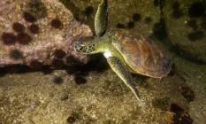 NINJA. Tartaruga-verde, ameaçada de extinção, nadando à noite, na Urca Foto: Ricardo Gomes