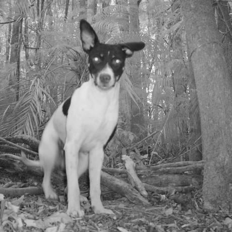 Armadilhas noturnas na Floresta da Tijuca captura flagrantes de animais na mata, como este cão Foto: Divulgação
