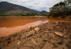 Peixes e pitus boiam às margens do rio em Resplendor (MG), após o desastre ecológico Foto: Arquivo